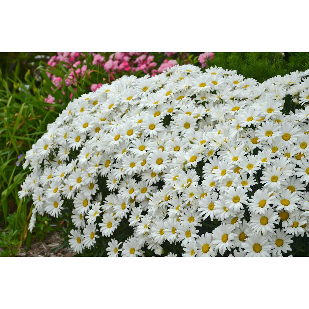 Yellow daisy perennials garden plants flowers the home depot amazing daisies daisy may shasta daisy leucanthemum live plant white flowers 065 izmirmasajfo