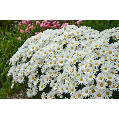 Amazing Daisies Daisy May Shasta Daisy (Leucanthemum) Live Plant, White Flowers, 4.5 in. Qt.