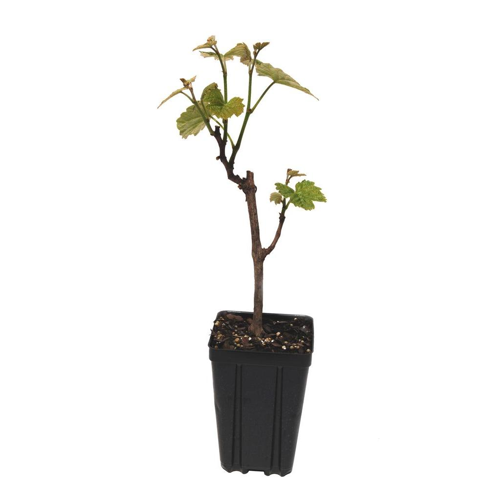 Sweet Berry Selections Steuben Grape Fruit Bearing Potted Vine