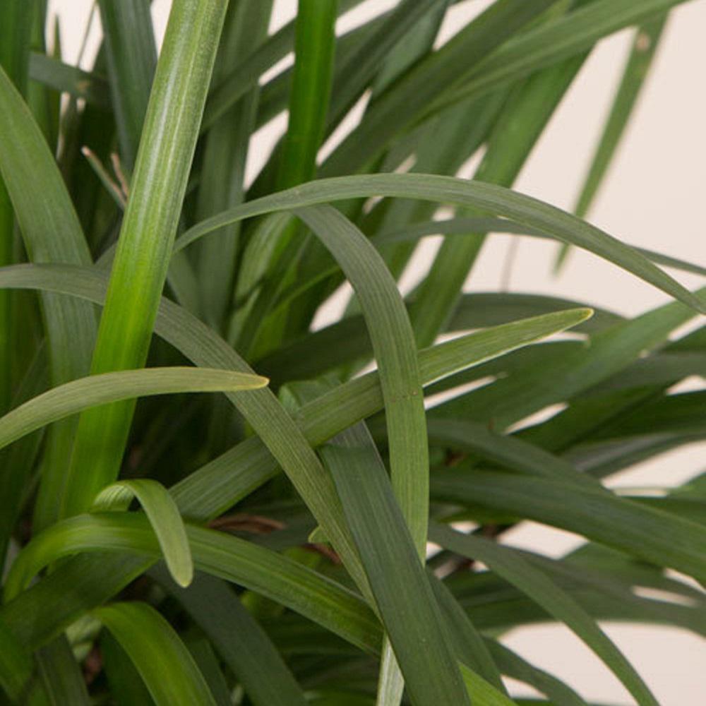 2.5 Qt. Evergreen Giant Liriope, Live Plant, Purple Plumes
