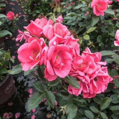 1 Gal. Flamingo Kolorscape Rose (Rosa), Live Deciduous Plant, Pink Flowers with Green Foliage (1-Pack)