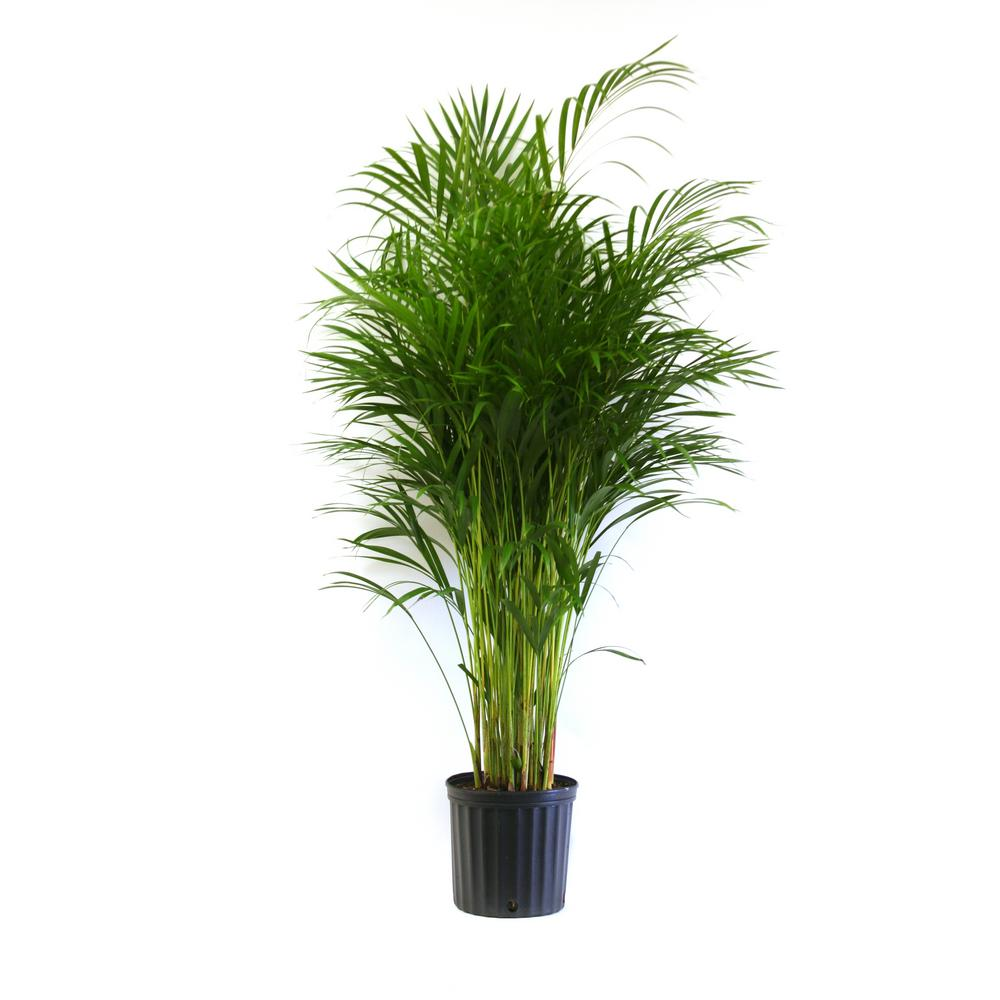 Delray plants areca palm in in grower pot 10areca Home depot palm beach gardens