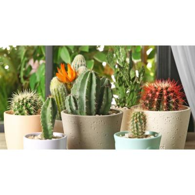 11 Oz. Cactus Plant Mix Assorted Flowers in 3.5 In. Grower's Pot (6-Plants)