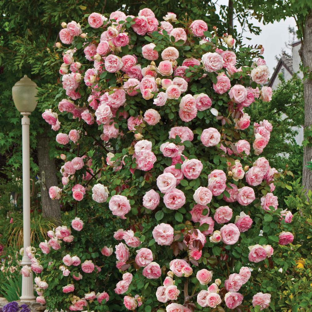 Spring Hill Nurseries Pink Flowers Pearly Gates Climbing Rose Live