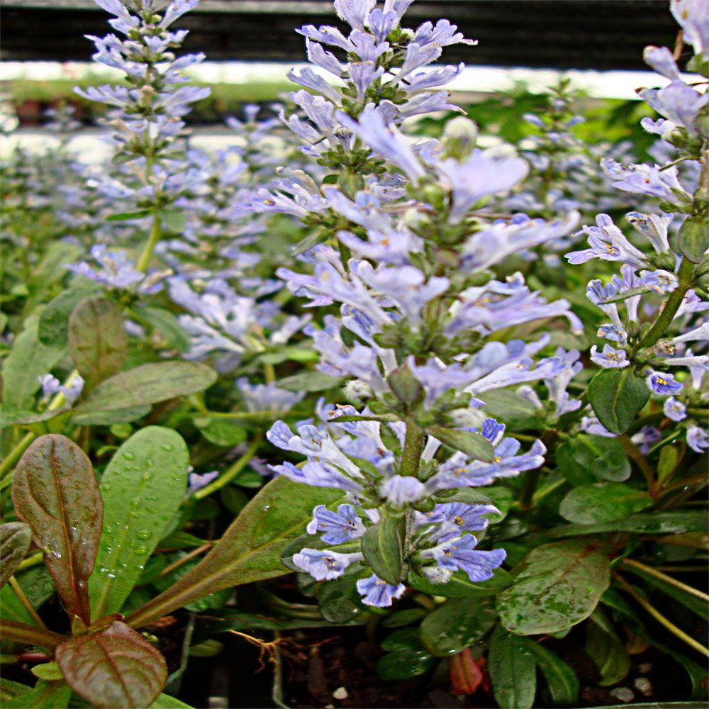 OnlinePlantCenter 3.5 in. Chocolate Chip Bugleweed Plant-DISCONTINUED