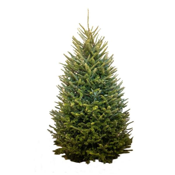 Sexton Farms 6 Ft To 6 5 Ft Freshly Cut Fraser Fir Live Christmas Tree Ff 6 7 The Home Depot
