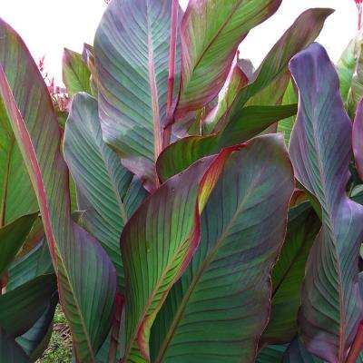 Giant Cannas- World's Tallest Cannas Musifolia Bulbs (5-Set)