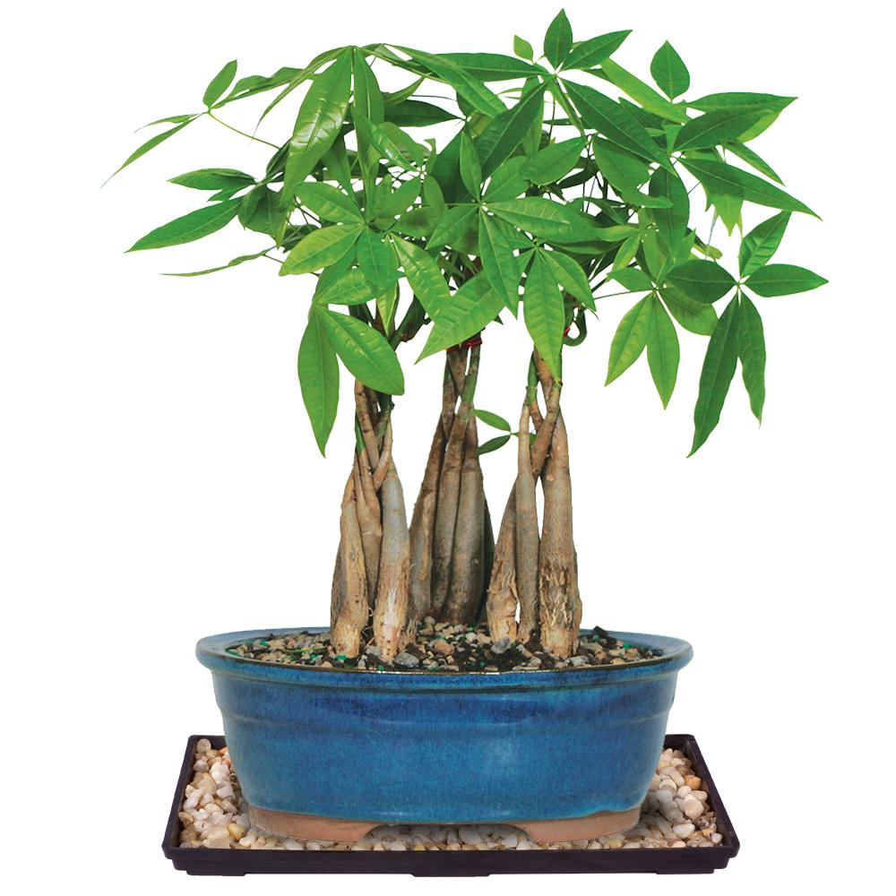 Brussel S Bonsai Money Tree Grove Dt2312mtg3cg The Home Depot