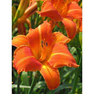 Orange 1 Qt. Daylily Mix (Pack of 4)