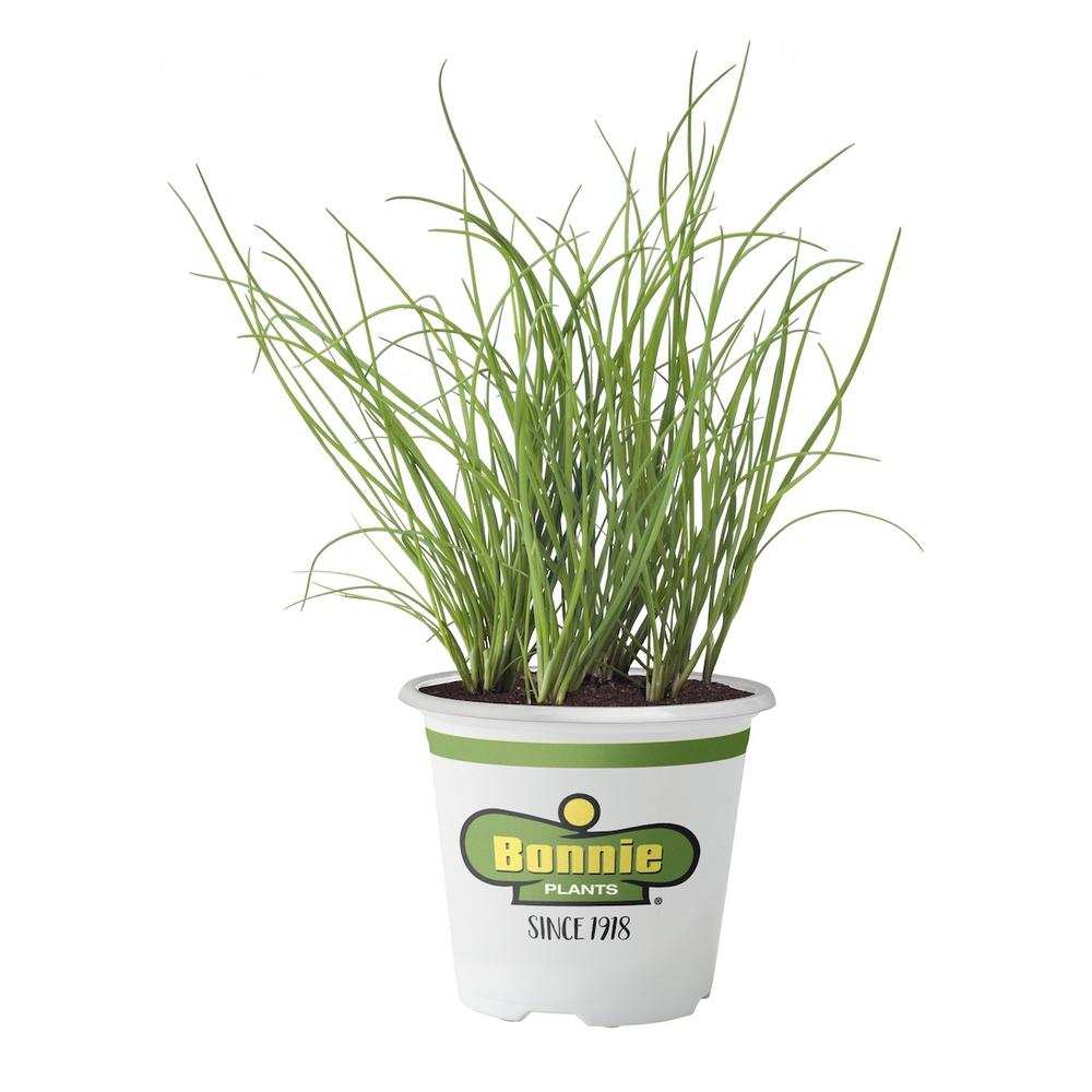 Bonnie Plants 4.5 in. Onion Chives Tidy clumps of round, tubular leaves with onion flavor. Flowers are edible. Use whole or break apart. Plants make great bed edging. Good choice for containers. Perennial in zones 3 to 10.