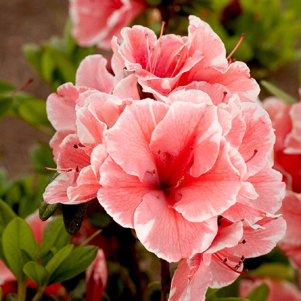 1 Gal. Autumn Sunburst Encore Azalea Shrub with Bicolor Coral Pink and White Reblooming Flowers