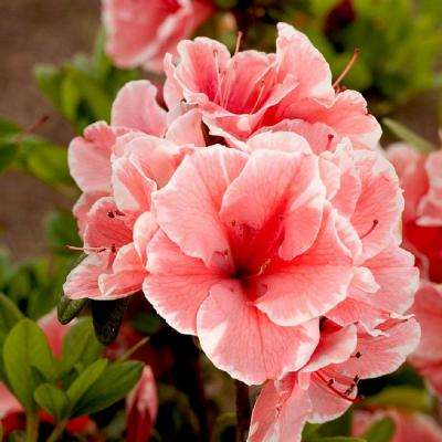 1 Gal. Autumn Sunburst Encore Azalea Shrub with Bicolor Coral Pink and White Reblooming Flowers