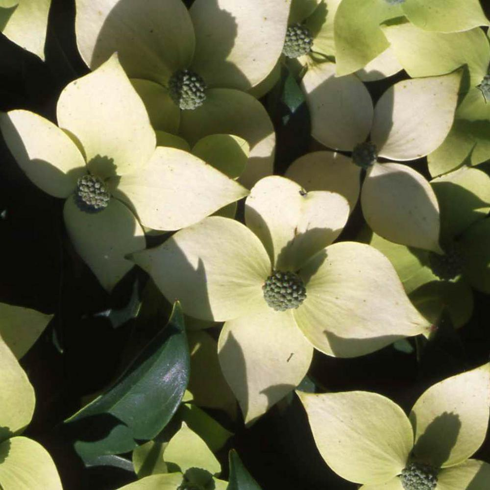 Window Blinds Home Depot >> Spring Hill Nurseries 2.50 Qt. Pot Empress of China Dogwood (Cornus), Live Potted Ornamental ...