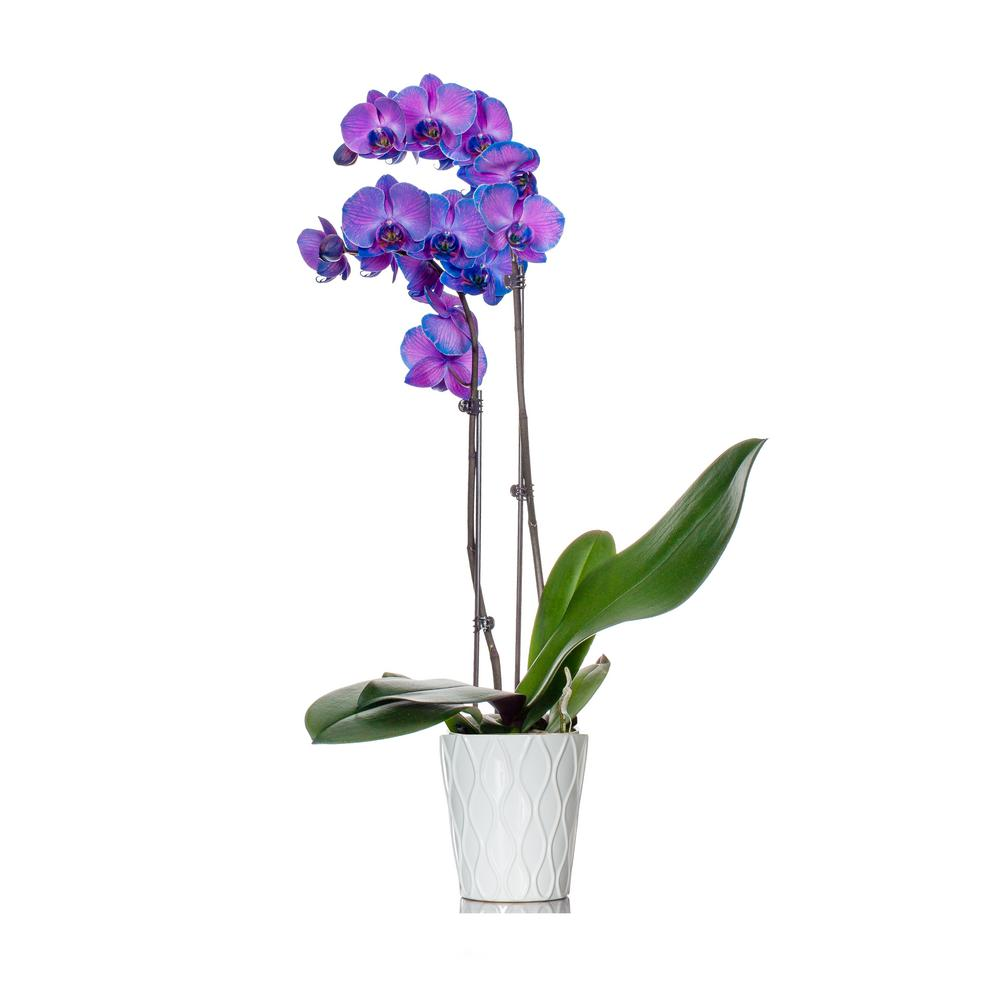 Classic Purple Watercolor Orchid in Ceramic Pot