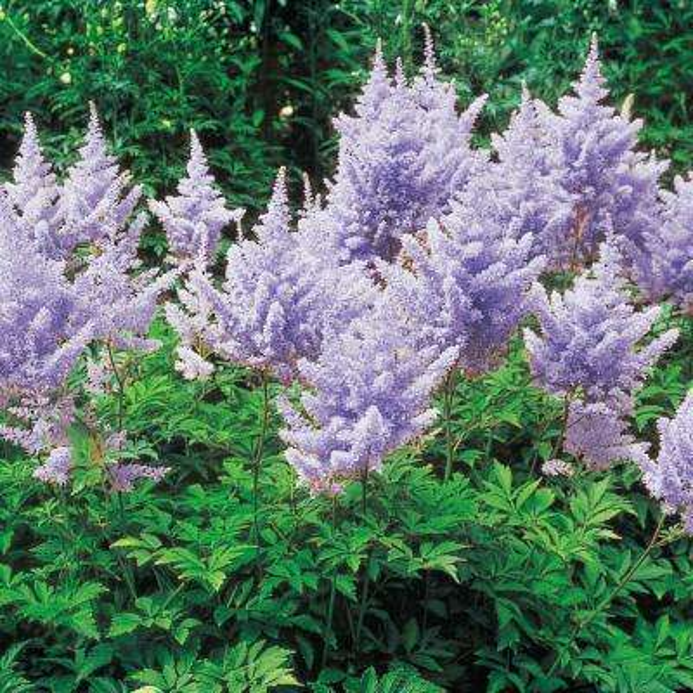 Lavender Flowers Amethyst Astilbe Live Bareroot Perennial Plants (10-Pack)