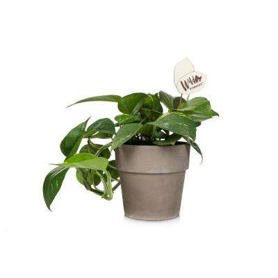 Wild Interiors 5 in. Pothos in a Terra Cotta Pot