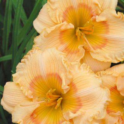 2.5 Qt. Joy of Living Celebration Daylily