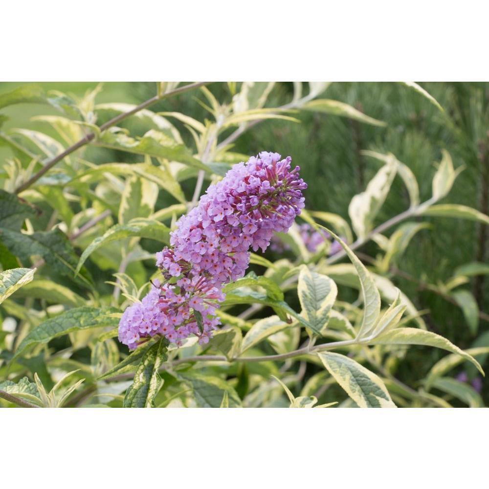 1 Gal. Summer Skies Butterfly Bush (Buddleia) Live Shrub, Light Purple Flowers