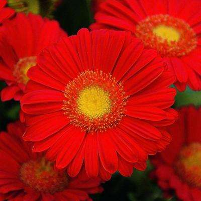 2 Gal. Flame Drakensberg Daisy Gerbera With Brilliant Red Blooms and Yellow Centers, Live Perennial Plant