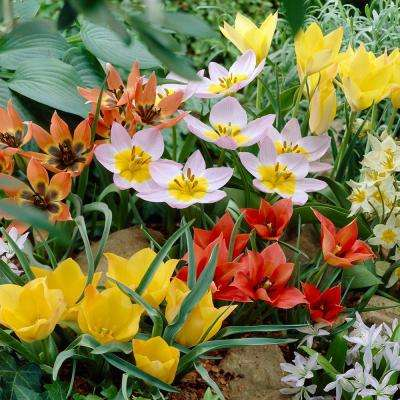 Tulips Bulbs Little Treasures Collection (Set of 50)