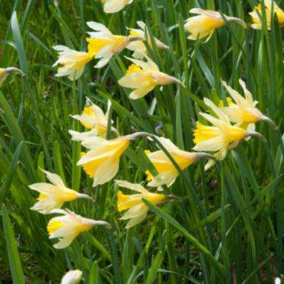 Yellow and White Wild Daffodils English Wild Daffodils and Lent Lily Bulbs (12-Pack)