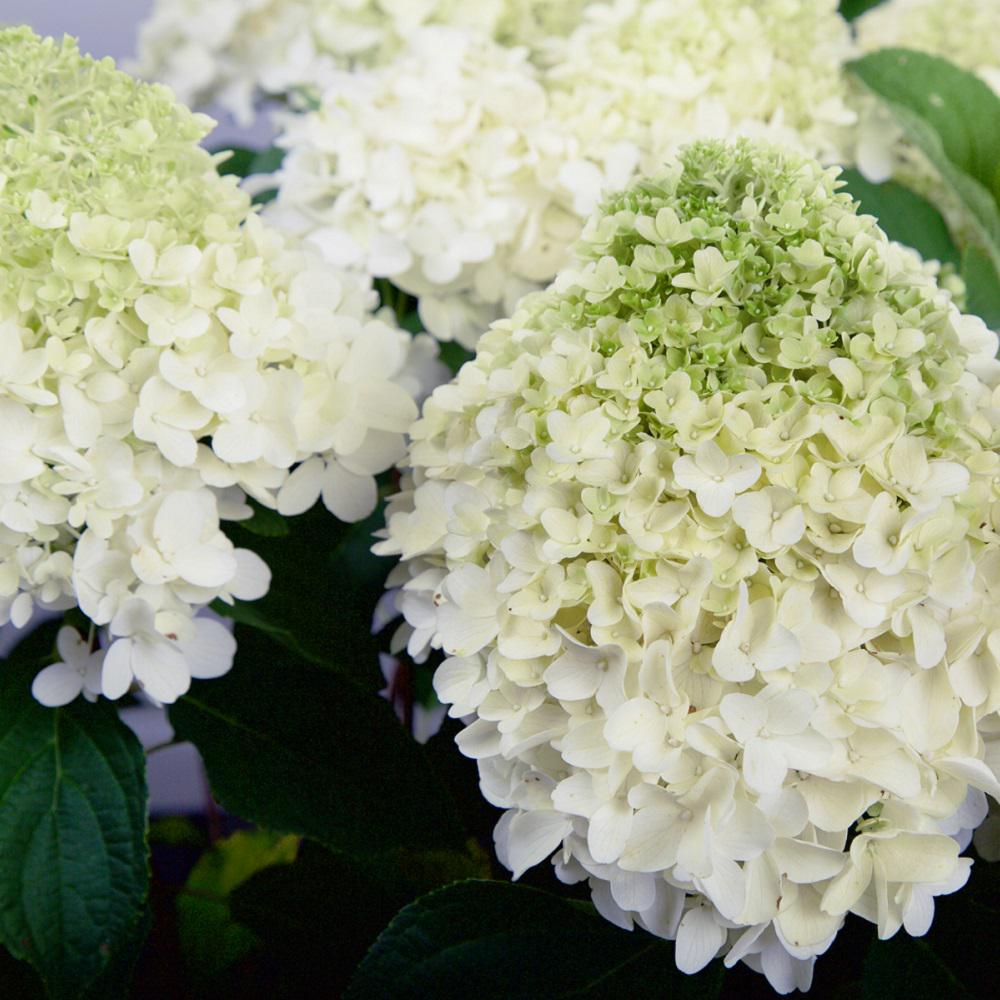 Wedding White Hydrangea: Southern Living Plant Collection 2 Gal. White Wedding