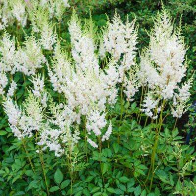 White Flowers Diamond Astilbe Live Bareroot Perennial Plants (10-Pack)