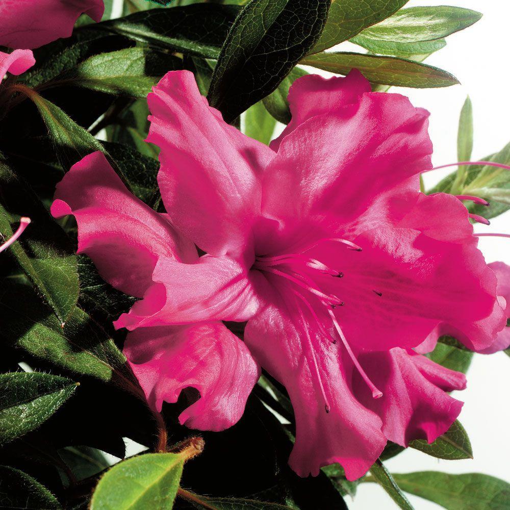 3 Gal. Autumn Sundance Encore Azalea Shrub with Magenta Pink Reblooming Flowers