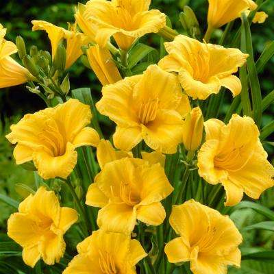 Yellow Daylily Re-Blooming Stella de'Oro Roots (5-Pack)