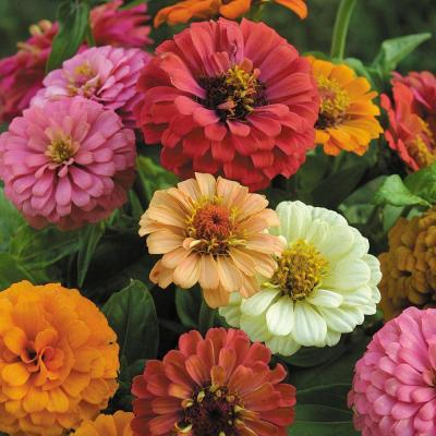 Organic Cut and Come Again Zinnia Seeds