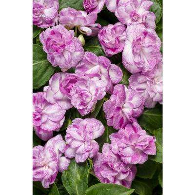 Rockapulco Wisteria (Double Impatiens) Live Plant, Light Purple and White Flowers, 4.25 in. Grande, 4-pack