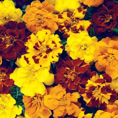 Marigold Durango Outback Flower Seed Mixture (50 Seed Packet)