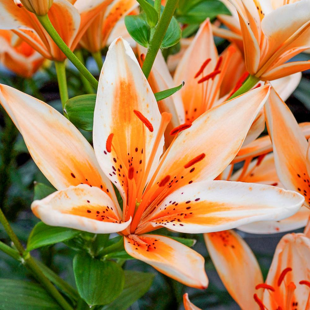 Breck's Orange Flowers Orange Electric Asiatic Lily Bulbs (3-Pack)