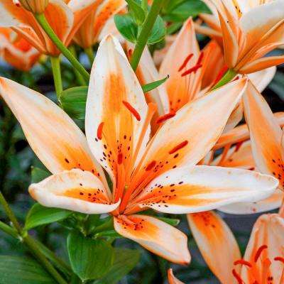 Orange Flowers Orange Electric Asiatic Lily Bulbs (3-Pack)