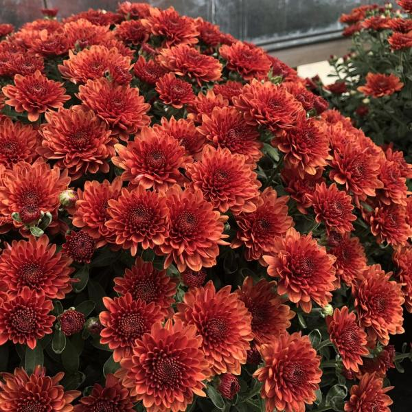 Pure Beauty Farms 2 5 Qt Mum Chrysanthemum Plant Bronze Flowers In 6 33 In Grower S Pot 2 Plants Dc1gmumbron2 The Home Depot