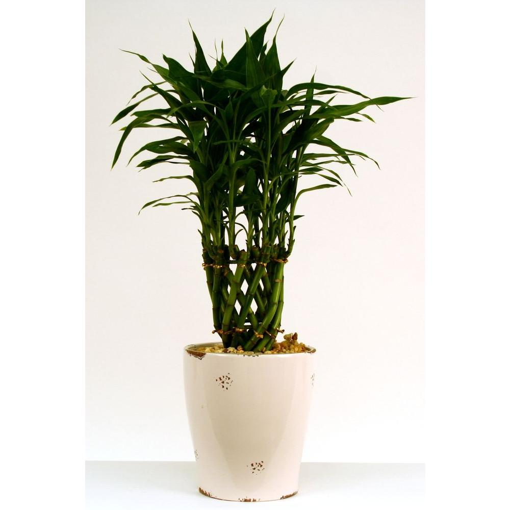 Delray Plants 6in Bamboo Dolomite-DISCONTINUED