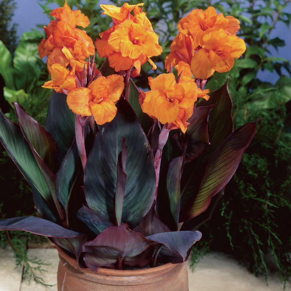 Cannas Bronze Leafed Wyoming Bulbs (Set of 6)