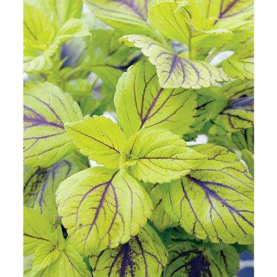 Gays Delight Coleus (Solenostemon) Live Plant, Green Foliage with Purple Veins, 4.25 in. Grande, 4-pack
