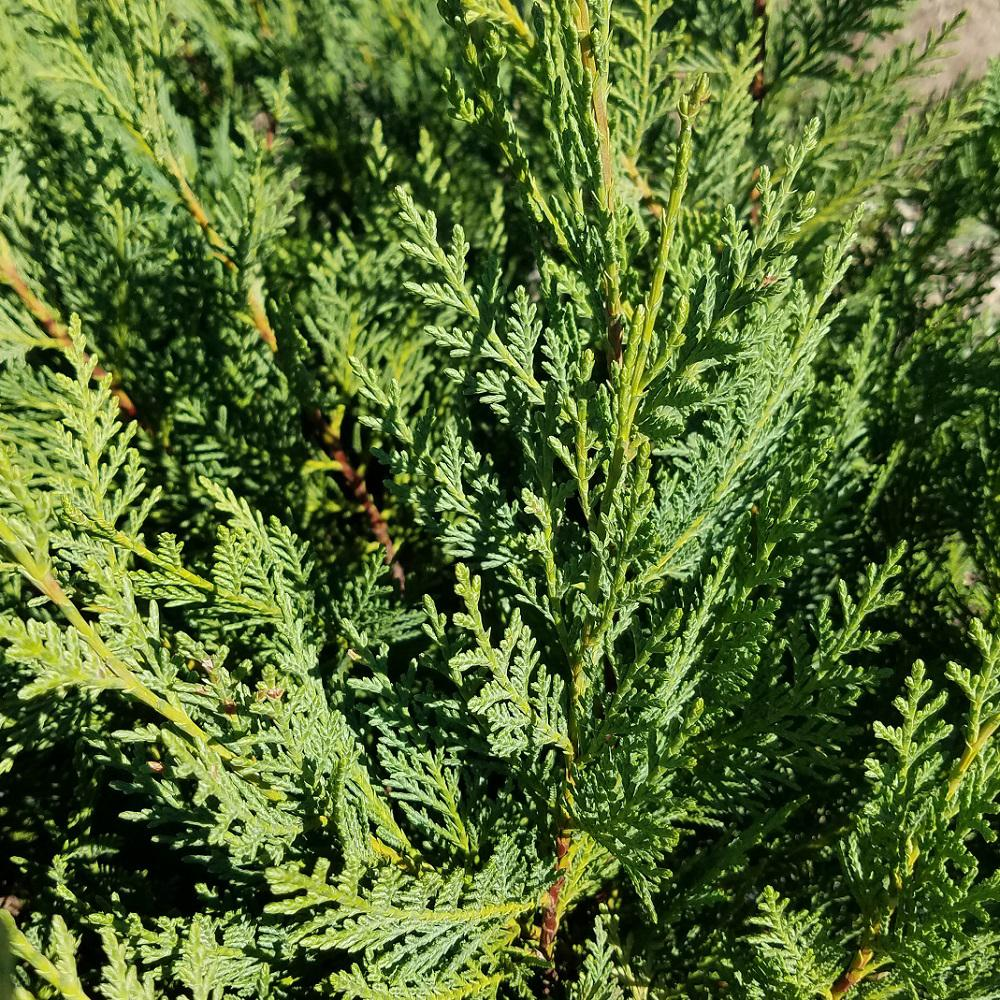 9 25 in pot leyland cypress live evergreen tree rich green