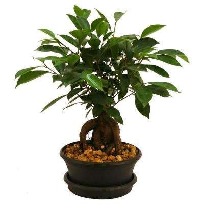 Ficus Bonsai 6 in. Plastic Pot