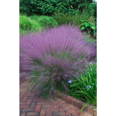 3 In. Pot, Pink Plumed Muhly (Muhlenbergia) Perennial Grass (1-Pack)