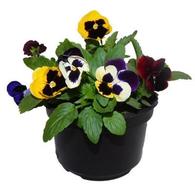 8 in. Pansy Annual Plant with Multi-Colored Blooms