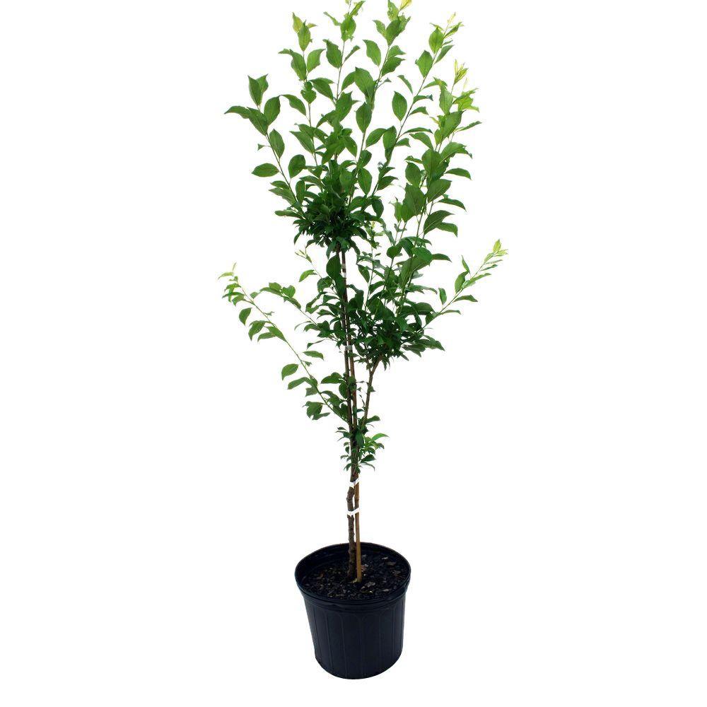 Santa Rosa Plum Tree Plusan05g The Home Depot