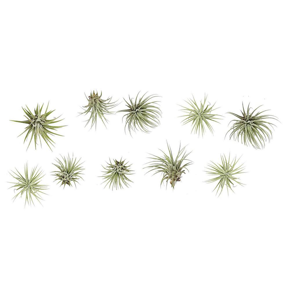 Ionantha Air Plants (10-Pack)