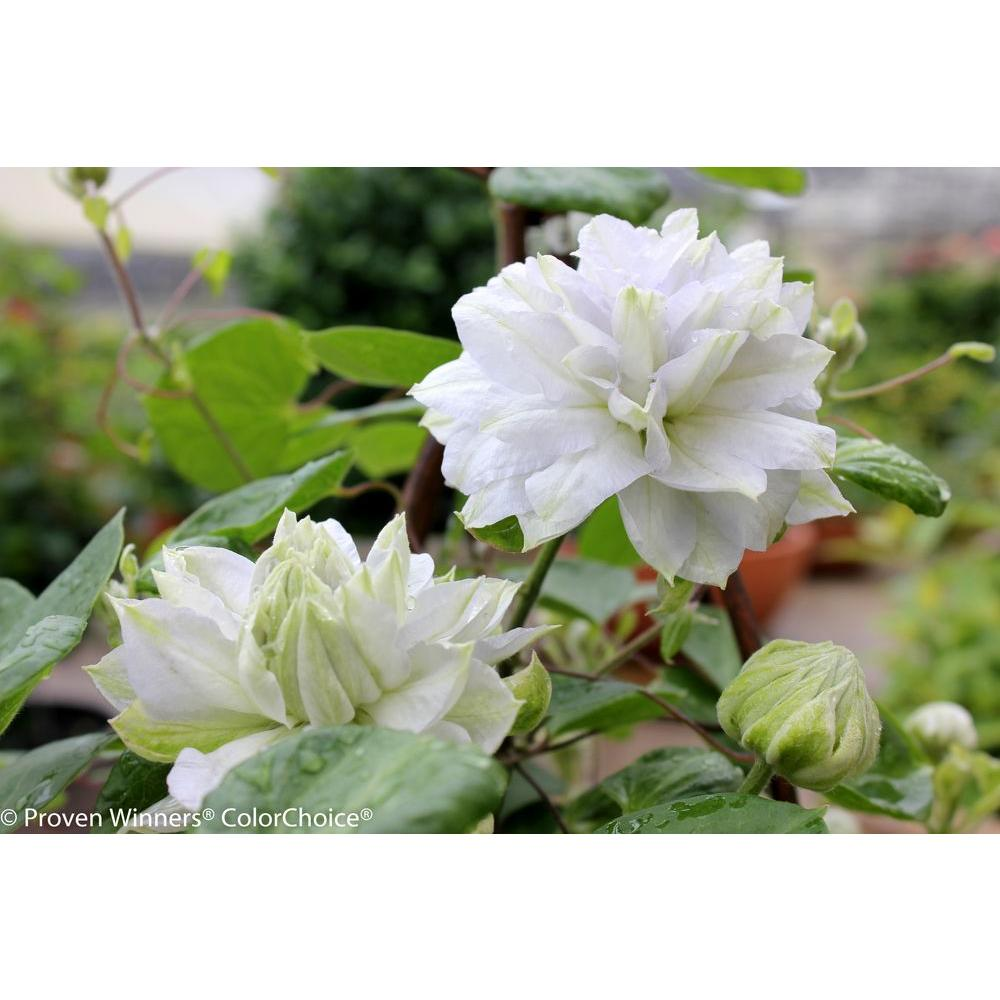 Flowering perennial shrubs trees bushes the home depot diamond ball clematis 1 gal shrub mightylinksfo