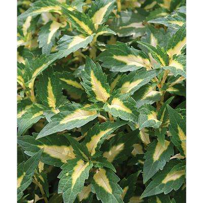 ColorBlaze Alligator Tears Coleus (Solenostemon) Live Plant, Green and Yellow Foliage, 4.25 in. Grande, 4-pack