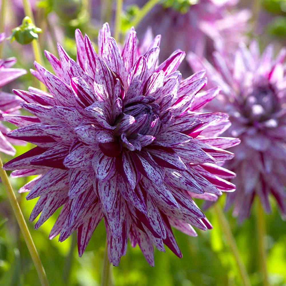 Dahlias Blackberry Ripple Bulbs Set Of 5