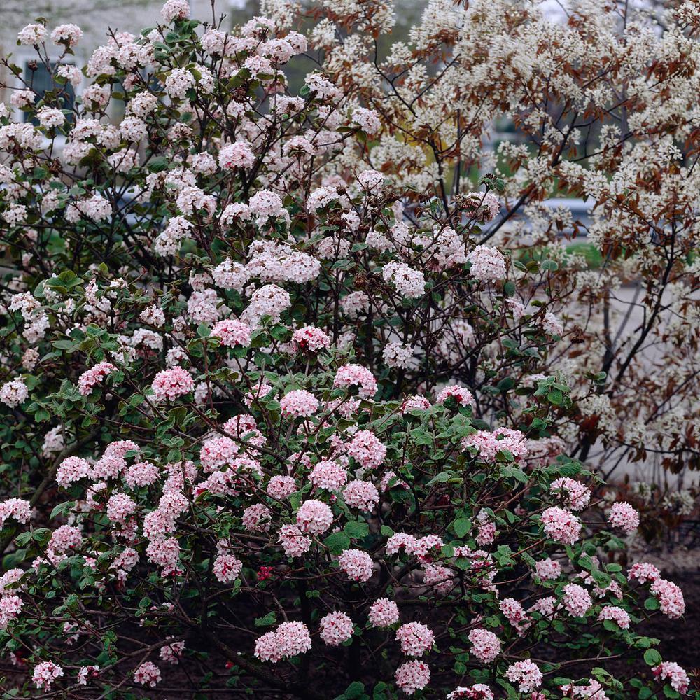 Flowering Shrub 84 Full Sun Shrubs Bushes Plants