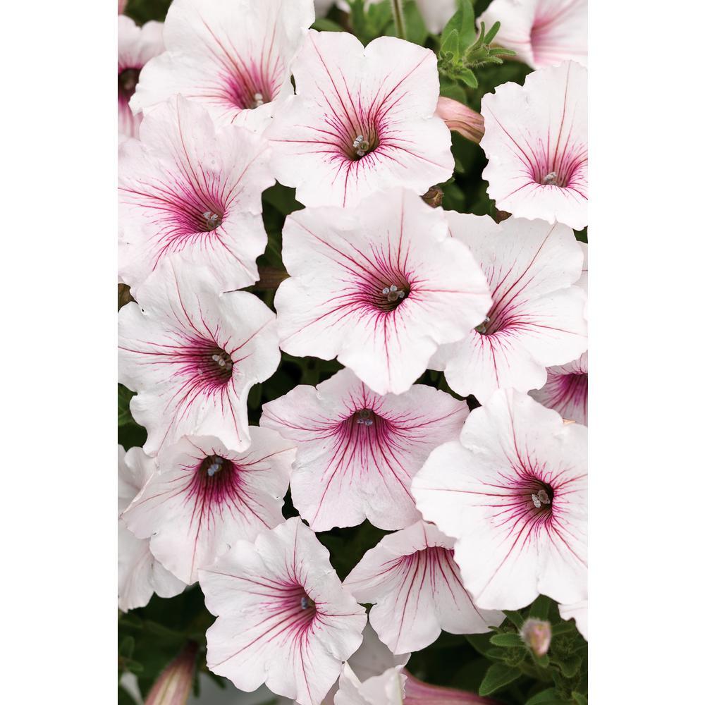 4-Pack, 4.25 in. Grande Supertunia Vista Silverberry (Petunia) Live Plants, White & Pink Flowers