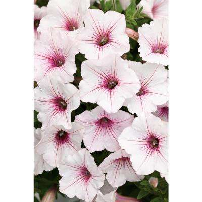 Supertunia Vista Silver berry Petunia 4.25 in. Grande (4-Pack)